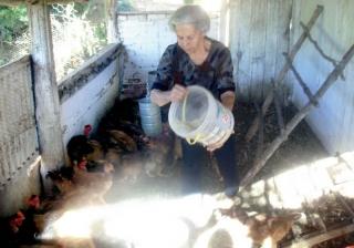 Dona Terezinha sozinha cuida dos frangos.