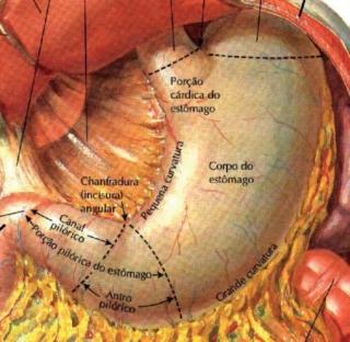 Ilustração do estômago e suas relações anatômicas
