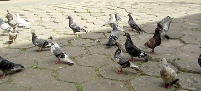 Pombos domésticos na rua em frente à antiga rodoviária; é comum encontrá-los em bando pela cidade.
