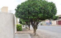 Árvores embelezam  e dão qualidade de vida